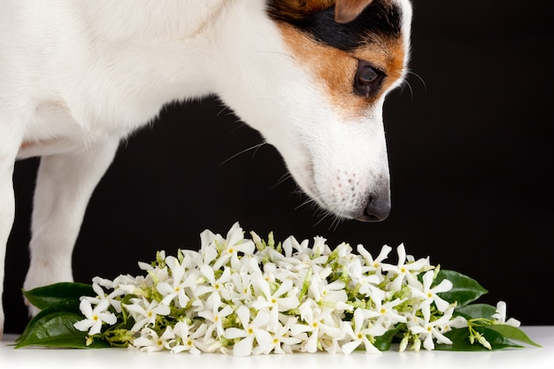 Jack russell cheira a flores de jasmim