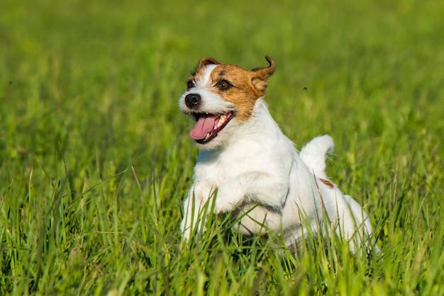 Jack russell dog está correndo na grama verde