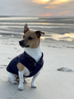 Jack russell fofo em um traje azul sentado na areia na praia