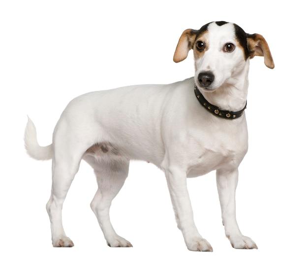 Jack russell terrier, 3 anos. retrato de cachorro isolado