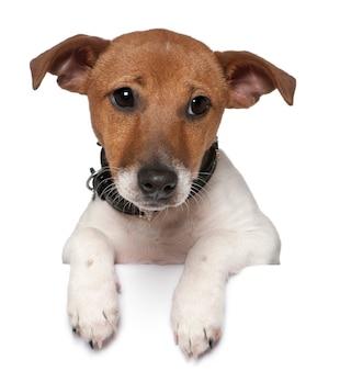 Jack russell terrier, 3 meses de idade. retrato de cachorro isolado