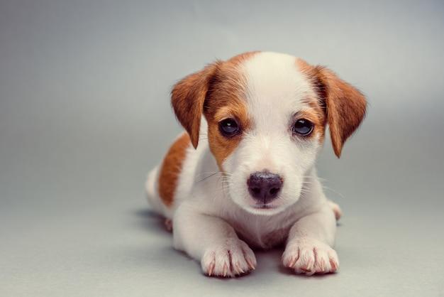 Jack russell terrier cachorrinho deitado
