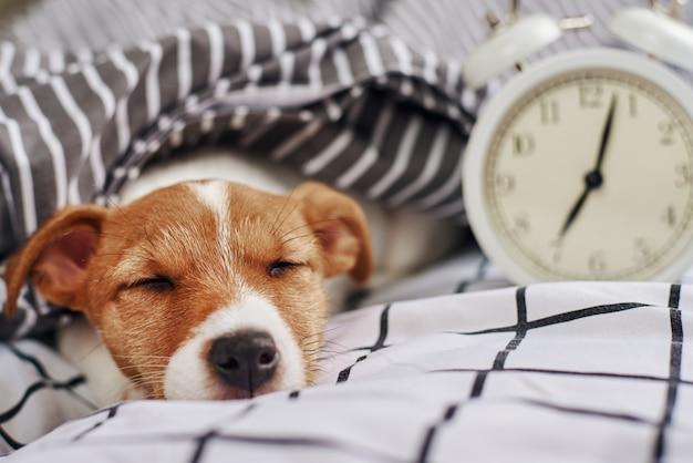 Jack russell terrier cachorro dormindo na cama com despertador vintage