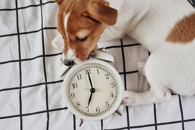 Jack russell terrier cachorro mordisca despertador vintage na cama. conceito de acordar e de manhã