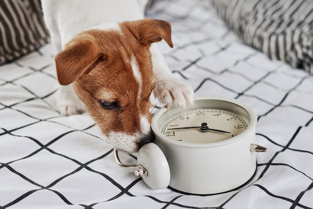 Jack russell terrier cachorro mordisca despertador vintage na cama