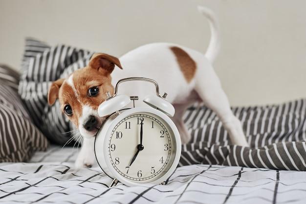 Jack russell terrier cachorro mordisca despertador vintage na cama.