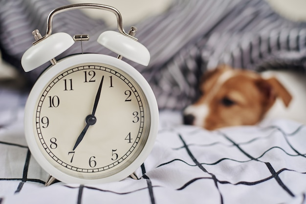 Jack russell terrier cachorro na cama com despertador