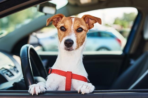 Jack russell terrier cachorro senta-se no carro no assento do motorista. cachorro olhando pela janela do carro