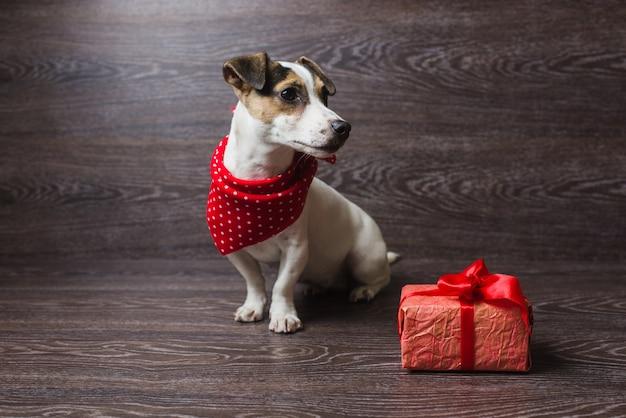 Jack russell terrier com caixa de presente festivo.