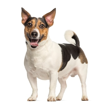Jack russell terrier, de pé e ofegante, isolado