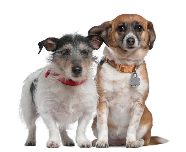 Jack russell terrier e cachorro de raça misturada, 7 anos e 8 anos, em frente a parede branca