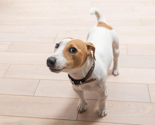 Jack russell terrier em casa