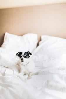Jack russell terrier em uma cama branca e limpa