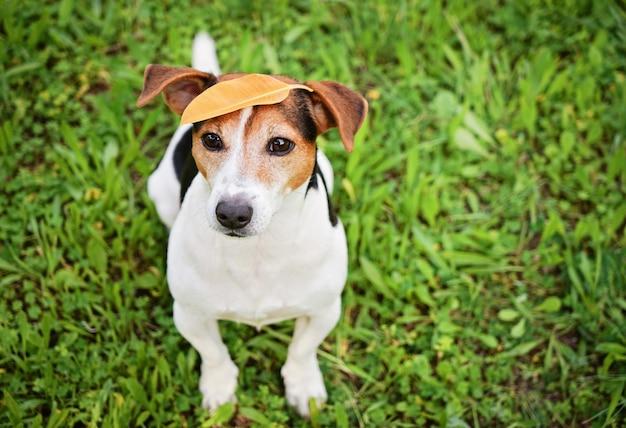 Jack russell terrier engraçado com folha na cabeça