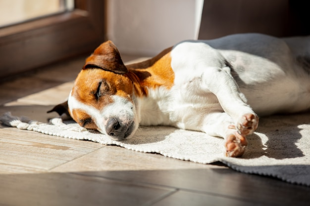 Jack russell terrier está dormindo na luz do sol perto de uma janela