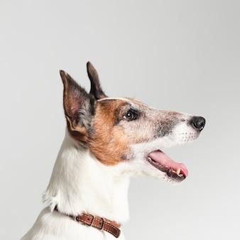 Jack terrier bonito de russel com a boca aberta
