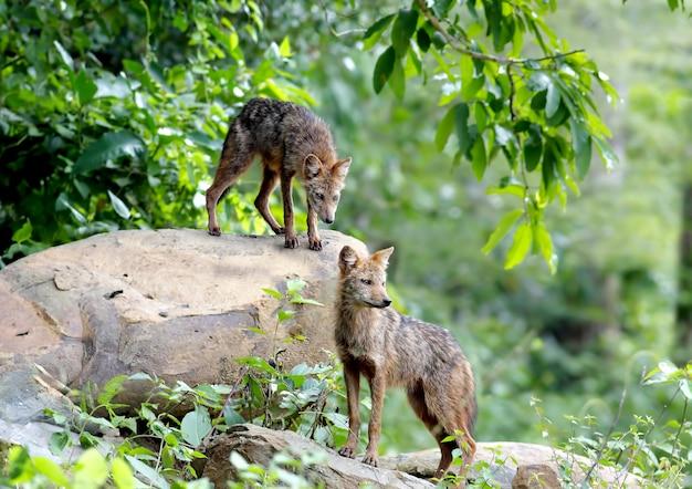 Jackal dourado jackal asiático canis aureus mamíferos