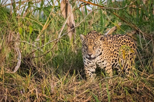 Jaguar andando em estado selvagem. vida selvagem no pantanal.
