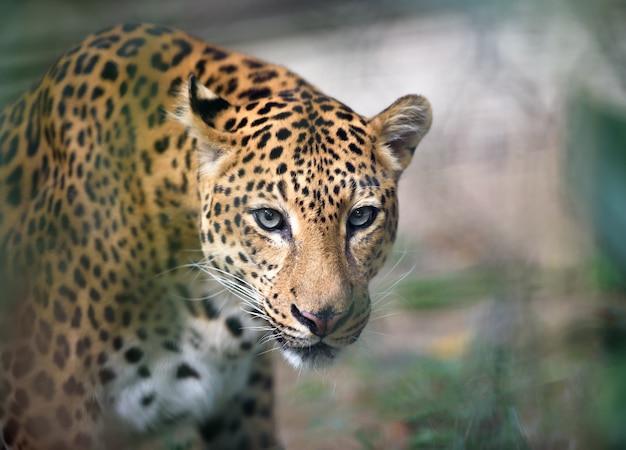 Jaguar closeup retrato