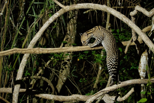 Jaguatirica muito rara na noite da selva brasileira
