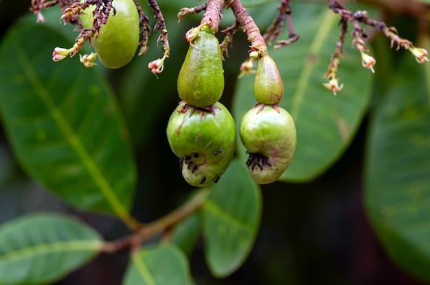 Jambu mete, as sementes de caju e os frutos jovens acessórios da maçã (anacardium occidentale l.) com formigas.