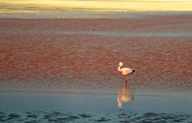 James, flamingo, andar, em, laguna, colorada, sangrento, cor sal, lago, em, altiplano, planalto, bolívia