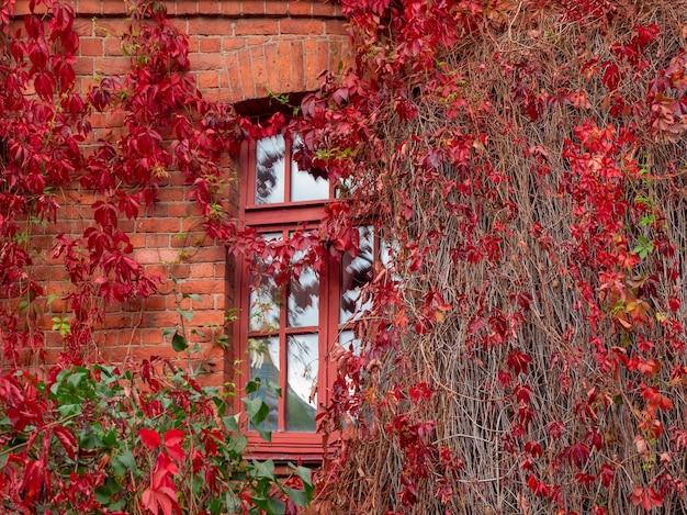 Janela de outono emoldurada por folhas vermelhas de uvas bravas.