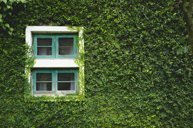 Janelas da casa coberta por folhas de hera verde natural