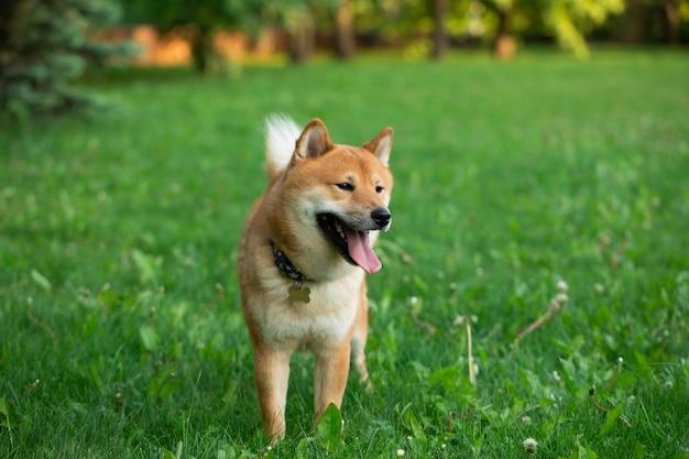 Japanease cachorro vermelho shiba inu correndo na grama