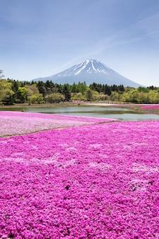 Japão shibazakura festival com o campo de musgo rosa de sakura ou flor de cerejeira