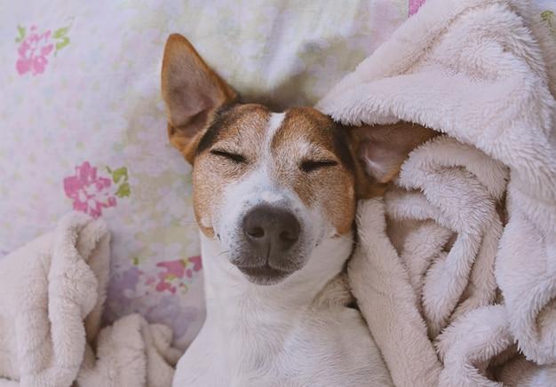 Jaque sonolento terrier de russell no cobertor