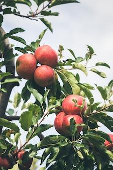 Jardim cheio de maçãs vermelhas maduras