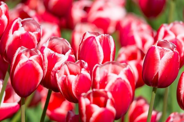 Jardim colorido de florescência do canteiro de flores das tulipas em público.