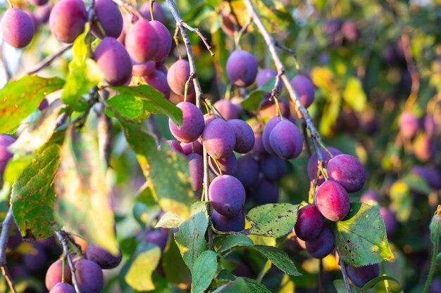 Jardim com ameixeiras colhem ameixas maduras suculentas sob o sol
