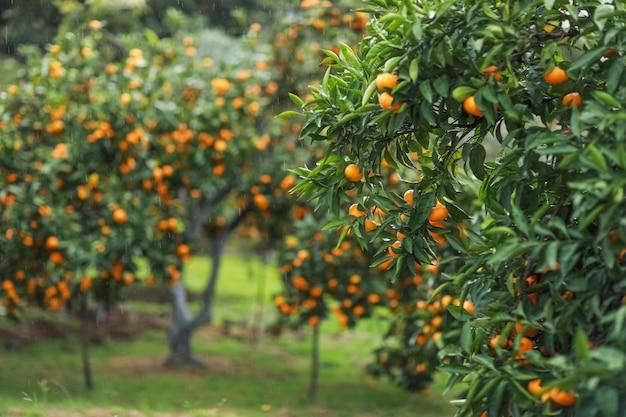 Jardim com árvores de tangerina durante a colheita