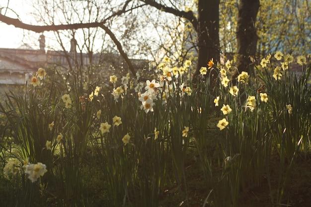 Jardim com narcisos florescendo