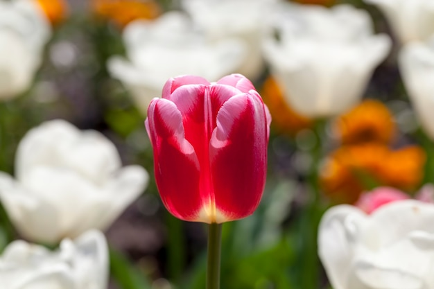 Jardim com tulipas no verão, um grande número de flores de tulipa para a decoração do jardim