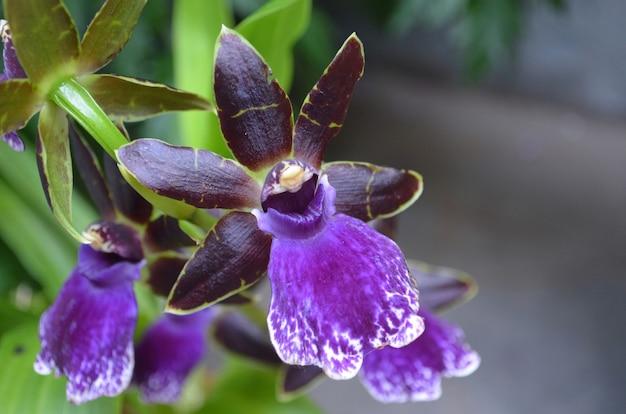 Jardim com uma flor de orquídea roxa escura desabrochando.