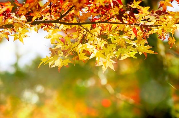 Jardim da árvore de bordo no outono. folhas de plátano vermelhas no outono.