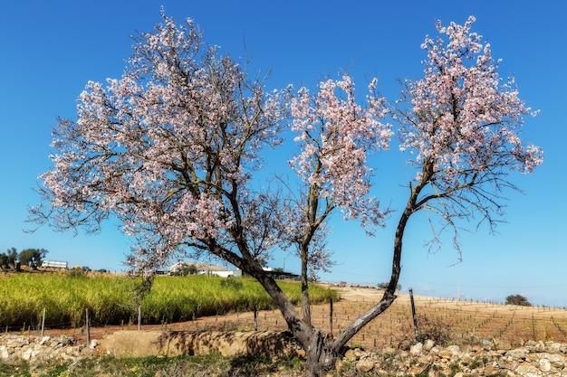 Jardim de amêndoa florescendo em portugal. tavira algarve