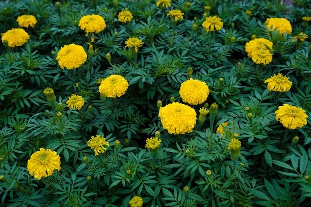 Jardim de calêndula amarelo