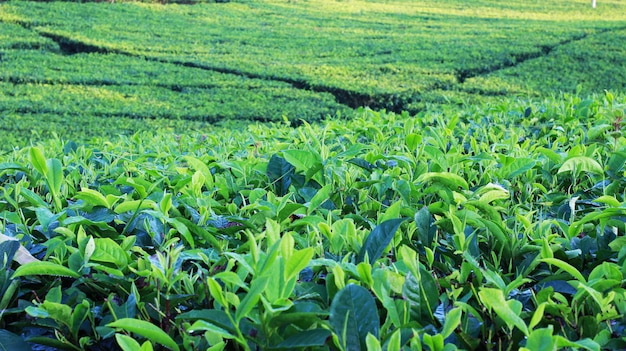 Jardim de chá natural