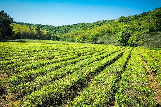 Jardim de chá verde, cultivo de colinas