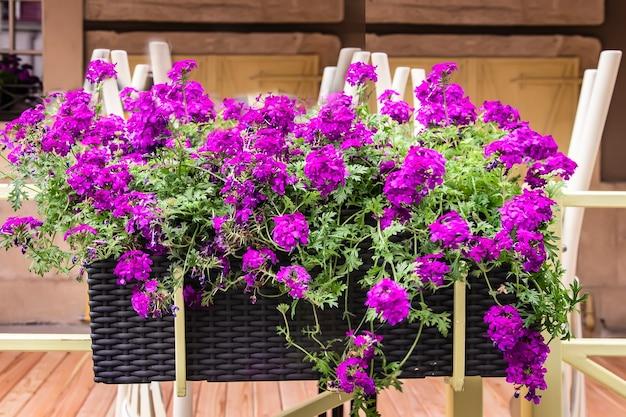 Jardim de contêineres com verbena lilás no terraço da loja de flores e plantas à venda
