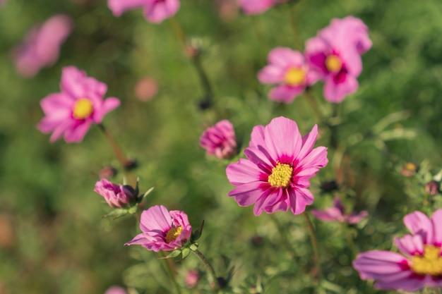 Jardim de flores cor-de-rosa e escuro da cor-de-rosa do cosmos.