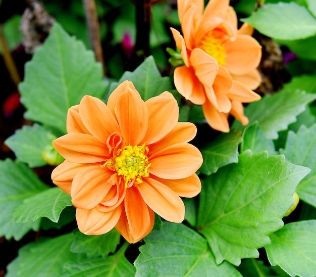 Jardim de flores de laranjeira ao ar livre