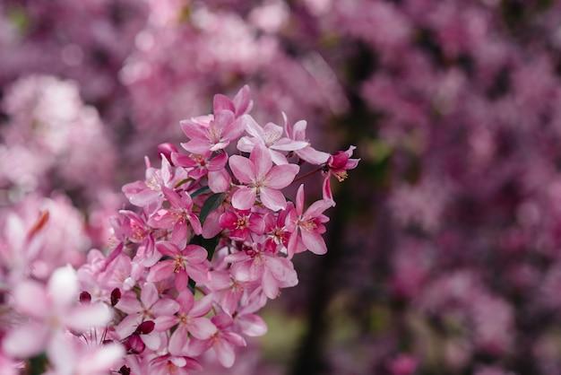 Jardim de florescência bonito, cor-de-rosa da árvore de apple na primavera. indústria agrícola.