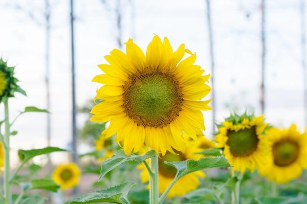 Jardim de girassóis. os girassóis têm benefícios abundantes para a saúde. o óleo de girassol melhora a saúde da pele