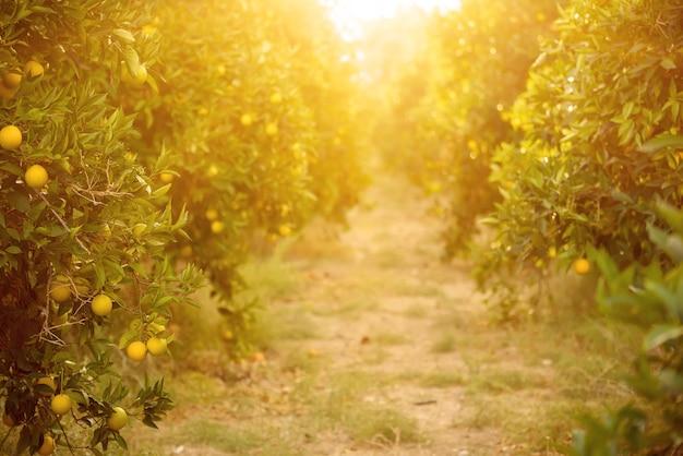 Jardim de laranjeiras com frutos de laranjeira amadurecendo nas árvores com folhas verdes e sol brilhando, fundo natural e alimentar