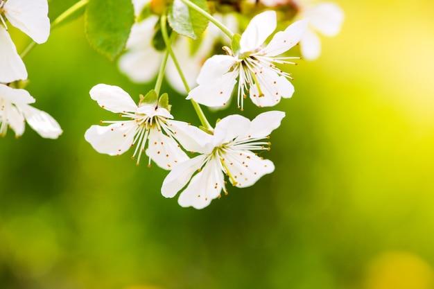 Jardim de maçã, flor na árvore. pomar florido na primavera
